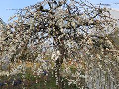 2016春、五分咲ほどの枝垂れ梅(5/5):2月26日(5):名古屋市農業センター、緑萼枝垂れ、呉服枝垂れ