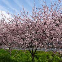 尼崎市散策 武庫川コスモス園に咲く桜と春日神社参拝。