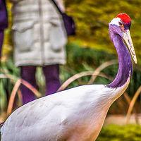 タンチョウ鶴の放鳥 ひさしぶりの 後楽園