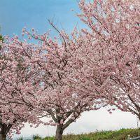 春の桜散歩②~ふくざわ公園・春木径~