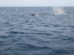 2016春、沖縄旅行(4):3月18日(2):慶良間諸島、野生鯨のホエール・ウォッチング、親子のザトウクジラ
