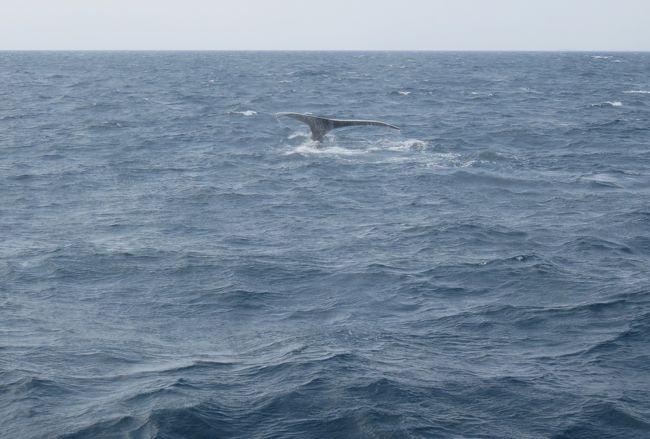 2016春、沖縄旅行(5):3月18日(3):慶良間諸島、野生鯨のホエール・ウォッチング、親子のザトウクジラ