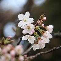 速報!新宿御苑の桜が開花しました♪