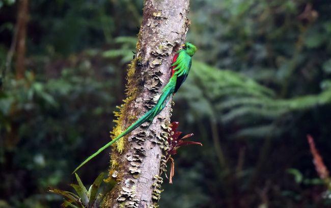 伝説の鳥、ケツァール: コスタリカで色鮮やかな鳥を探して(1)