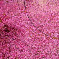 ソメイヨシノの開花を前に落ちてこその椿、舞ってこその桜