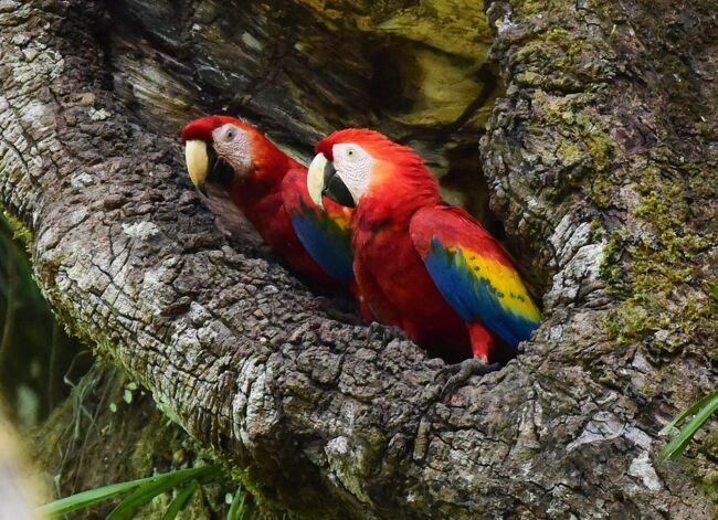 コンゴウインコ(Scarlet Macaw)は豪華な鳥で、赤に黄と青が巧みに配色されて目を奪う。体長も90センチ近くある。コンゴウインコは中米から南米に分布する。しかし、確実に野生のコンゴウインコを見られる場所は多くない。コスタリカでは第一にコルコバード国立公園周辺、第ニにカラーラ(Carara)国立公園周辺とされている。コンゴウインコをぜひ見たいと思ったが、交通不便なコルコバード国立公園周辺は敬遠してカラーラ国立公園周辺に行くことにした。<br /><br />滞在したのはCerroロッジ。いかにも鳥屋の宿といった簡素な雰囲気であるが、遠く太平洋を望む眺望と空調が良かった。そしてなんと庭先にもコンゴウインコがやってきた。コンゴウインコには何度も遭遇した。寛いで野生のアーモンドの実を食べている姿が印象的だった。空を飛ぶ姿はさらに美しい。カラ-ラ国立公園周辺は野鳥が多く、いくつかの珍しい鳥も見た。中でもMotmot(ハチクイモドキ)がきれいだった。<br /><br />モンテベルデへの移動の途中にコンゴウインコ保護区に立ち寄った。コンゴウインコを繁殖して放鳥している施設である。ここではコンゴウインコばかりか絶滅が恐れられているGreat Green Macaw(ヒワコンゴウインコ)を屋外で見ることができた。