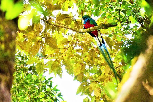 モンテベルデのケツァール: コスタリカで色鮮やかな鳥を探して(3)