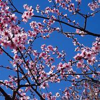 アーモンドの花見 東洋ナッツ アーモンドフェスティバル