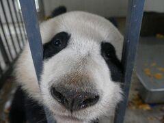念願!パンダボランティア!(中国四川省 都江堰基地)   ついでにUFO写真撮影[panda volunteer]