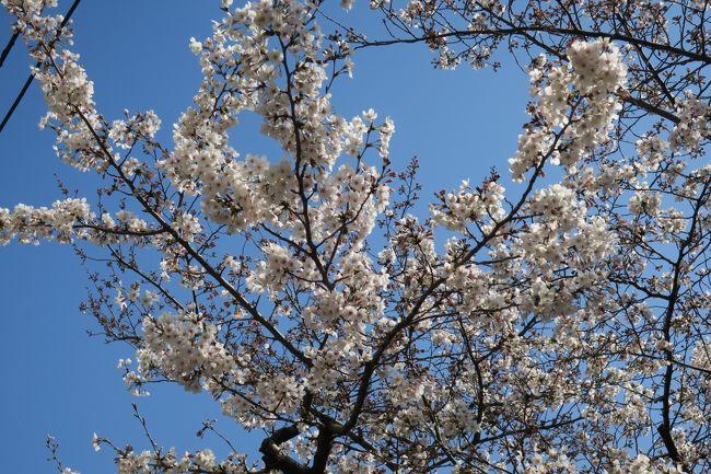 桜の開花宣言後の寒の戻り、、、今週末は桜の見頃かと勝手にお花見日和と決めていたこの週末。<br />待ちきれずに予定通り、お花見と称して散歩ウォーキングをして来ました。<br /><br />JR高田馬場駅から、神田川沿いに江戸川橋〜目白通り沿いに目白駅まで、2時間程歩きました。<br />