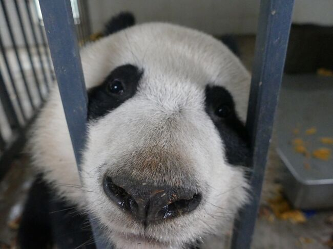 2016.0304 兼ねてからの念願、パンダボランティアとパンダ抱っこをすることができました。場所は中国保護大熊猫研究中心 都江堰基地「熊猫楽園」。ここに辿り着くのには時間がかかりました。多分ネットで都江堰基地を調べると出てくるのは熊猫谷でしょう。私は去年パンダ抱っこを求めて2度熊猫谷に行きました。<br />パンダ基地はわかりずらい…、随分と無駄な時間を使ってしまった…。<br />でもそんなことは今回の経験で吹っ飛びました。<br />とにかく、こんなに可愛い生き物はいないでしょう。ぬいぐるみではありません本物のパンダです\(^o^)/<br /><br />本編はパンダボランティア編です。<br />(ボランティアは700元、抱っこは1800元、VISA, JCB, UNION 利用可)<br />ついでにUFOまで撮影できました。<br />★次編のパンダ抱っこ編でボランティア等の申込方法と連絡先を載せました。<br />https://4travel.jp/travelogue/11115816<br />[How to hug a Panda and become a Learner : Volunteer]<br />★四川省の「パンダ基地への行き方」は下記を参照下さい。<br />https://4travel.jp/travelogue/11291821<br /><br />★★パンダ基地の情報やライブ映像のサイトは<br />「iPanda熊猫频道_熊猫频道」<br />http://www.ipanda.com/