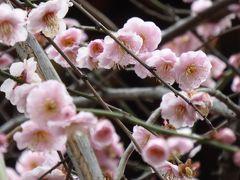 早春の湯島天神「梅まつり」♪