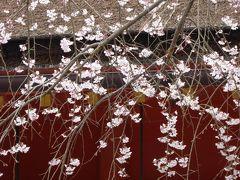 春の優雅な伊豆と河口湖 愛犬一緒の旅♪ Vol6(第2日目午後) ☆富士宮:富士山本宮浅間大社と美しい枝垂桜♪