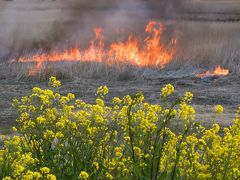春の風物詩、渡良瀬遊水池のヨシ焼き