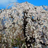 三月の春~静寂の中で観る上品蓮台寺の桜もの賑わいの中で眺める京都御苑の桜も美しかった!~