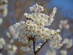 通勤経路も春!(横浜市本牧近隣)