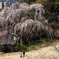 春のお勧めスポット―(3)多摩市・川井家の枝垂れザクラ&宝野公園