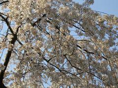 2016春、京都の桜巡り(7/13):3月30日(7):京都御所と御苑(2):近衛邸跡の枝垂れ桜、八重紅枝垂れ、松の大木