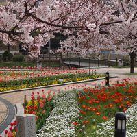 桜の満開宣言が出た博多を歩く!