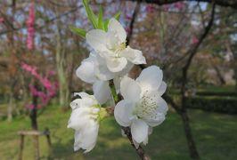 2016春、京都の桜巡り(8/13):3月30日(8):京都御所と御苑(3):御苑の枝垂れ桜、大島桜、山桜、桃、御所の築地塀