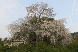 2016春、京都の桜巡り(10/13):3月30日(10):円山公園界隈(1):知恩院、長楽寺、大谷祖廟、桜、馬酔木