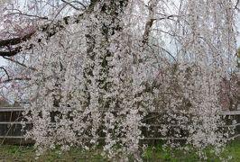 2016春、京都の桜巡り(11/13):3月30日(11):円山公園界隈(2):大谷祖廟、ねねの道、円山地蔵尊、大雲院、円山の枝垂れ桜