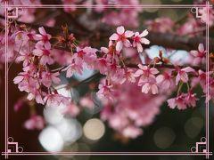 ソメイヨシノはまだ~~!?待ちきれない~~!近所の桜は・・・?