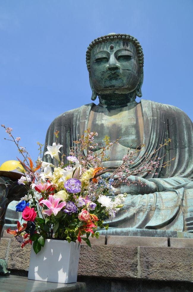 もう何年振りか思い出せないほど久しぶりに鎌倉を訪れた。京都、奈良、広島と並ぶ国際観光都市であるが、まだユネスコ世界遺産には登録されていないことが不思議に思えるほど見所が豊富にある。特に花見の時期は、寺社仏閣を背景にした風景が日本人の美意識に直接訴えてくる。以前に鎌倉を訪れたのは学生時代で、歴史の知識もなく漫然と通り過ぎたにすぎない。桜の開花情報に合わせて、ガイドブックを片手に撮影して回ることにした。<br /><br />取り敢えず目指したのは大仏で名高い高徳院、お隣の長谷寺と頼朝ゆかりの鶴岡八幡宮である。横浜から鎌倉に向かう列車の中で、聞き慣れない言語で会話する6人連れのご家族と居合わせた。目が合って微笑むと、先方から話しかけられて、英語で会話した。スウェーデン人の東京在住の4人家族で、親戚の夫婦が合流して鎌倉見物に行くと言う。30分ほどの短い時間の中で、小学生の2人のお嬢さんを含めて様々なことを話し合った。言語で苦労している事を聞いて、我々もアメリカ駐在の時に、子供達が苦労していた事を話題にした。鎌倉駅で江ノ電に乗り換え、ご家族は江ノ島に向かい、私は長谷駅で別れを告げた。日本での経験が楽しく有意義である事を願いながら。<br /><br />まずは久しぶりの大仏様に参拝し、胎内巡りをして多くの写真を撮った。大仏は1252年に建像、元々お堂に入っていたが、これは室町時代の津波で流されてしまい、その後露座となったそうだ。ここではソメイヨシノの蕾はまだ固く、満開は来週かと思われた。続いて長谷寺に向かった。境内は思いの外広く、主要な建屋だけでも10を超え、色とりどりの花が咲き競っていた。また弁天窟という石窟は、小規模とは言えインドのアジャンター・エローラを思い出させる。弘法大師自ら刻まれたという弁財天像や十六童子が壁面に現存する。<br /><br />続いて鎌倉文学館で、川端康成や小林秀雄らの自筆の原稿や身のまわりの品を見て、再び江ノ電に乗り鎌倉駅で下車、鶴岡八幡宮に向かった。参道である若宮大路は、源頼朝が自ら街づくりをしたという由緒ある大通りで、両側に満開の桜を眺めながら大変な人出をかき分けて、本殿の階段を登った。参拝を済ませた後は、まさに駆け足で鎌倉街道を歩いて、鎌倉五山の内、第一位の建長寺と第二位の円覚寺を訪れた。建長寺は1253年というから、大仏建立の翌年、円覚寺は1282年の開山という古刹である。この両寺はまさに桜が満開、これ以上はないと思われるほど日本の春を代表する風情を感じさせてくれる。<br /><br />先回訪れた時も五山の内、第二位まで、三位以下の寿福寺、浄智寺、浄妙寺は飛ばして帰途につくことになった。繰り返しになるが、鎌倉時代には実質日本の首都だった街だ。世界遺産に登録されて当然の歴史的な史跡が無数にある、日本の誇り得る古都であり、広く海外にも評価されてほしいものだと思う。あのスウェーデンのご家族も桜が満開の鎌倉で、日本の伝統文化を堪能されたことであろう。