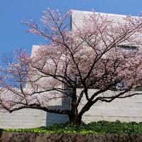 桜を追いかけて−1 最高裁判所から 国立劇場へ