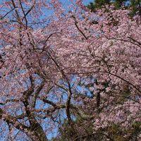 世界遺産、秀吉の桜(醍醐寺)