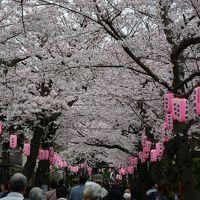 横浜 称名寺 桜まつり(福祉お花見バザー) 桜は満開です! 2016年4月2日