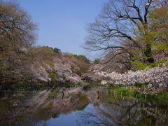 桜サクラさくら~♪@出勤前の井の頭公園