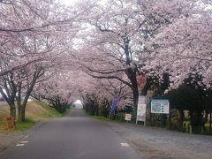 2016年先頭平閘門の桜のトンネル