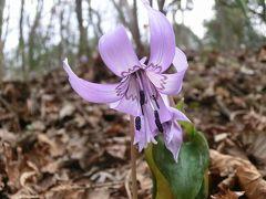 秘密の場所のカタクリ 春の花いろいろ