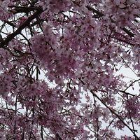 川西市高原寺の枝垂れ桜が満開になっていました 下巻。