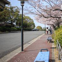 桜sakura旅Part3 愛知学院大学日進キャンパスと日進五色園の桜を愛でる♪