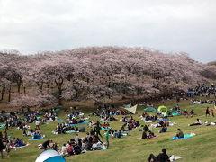 根岸森林公園の満開の桜が美しい !! さらに公園内の根岸競馬記念公苑では、馬に触れ合うイベントが目白押し!