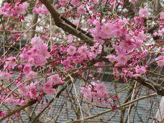 2016春、奈良の桜巡り(3/13):4月3日(3):橿原神宮(3):橿原神宮、2600年大祭、八重紅枝垂れ、染井吉野、ヒドリガモ、長山稲荷社