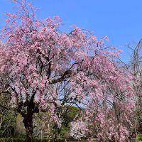 青空に映える真鶴のしだれ桜 2016(神奈川)