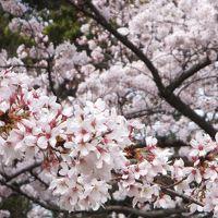 醍醐寺の花見に車で。その後、八幡の背割り堤へ。