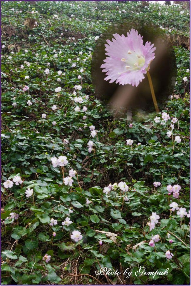 四月に入り関東一円では桜のたよりが続々届いている。靖国神社の標本木を前に気象庁職員の開花宣言を実況中継し大勢のギャラリーが取り巻いたり、大勢の外国人も花見に日本を訪れるなど、今年も世の中は桜フィーバーで盛り上がっている。昨年まで桜追っかけで忙しかった我が家は、世の動向に背を向け、観光とは無縁の名もない田舎で穴場的撮影スポットを探し出すのがマイブームとなっている。<br /> 茂木町のミツマタ群生に続き、今回は花粉にもめげず那珂川町富山地区の里山の杉林の中に群生するイワウチワを見に出かけた。あまり観光資源に恵まれない那珂川町で最近知名度が上がっているのが、温泉トラフグ。化石海水に由来する塩分が濃い温泉でトラフグを養殖し、近隣の店、温泉旅館で提供したりネット販売しているのである。少し値段は張るが、以前から気になっていたので、今回温泉トラフグを賞味してきた。ついでに馬頭地区にある広重美術館で、昭和を代表する写真家の一人、秋山庄太郎展をやっていたので、そちらも回ってきた。