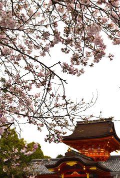 ひとりお花見部 2016① 石清水八幡宮と背割堤の八幡桜まつり