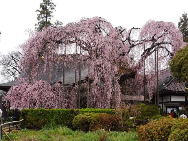 """山梨・日本人なら一生に一度は見ておきたい""""大桜・一本桜""""を訪れて"""