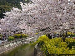 京都山科 びわ湖疏水の桜と菜の花 2016