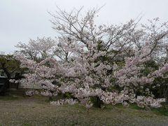 今年最後の桜を愛でに行こう!糸島にドライブ♪