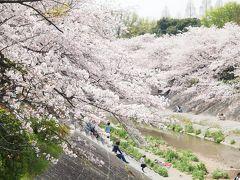 ピンク色に染まる山崎川 花びら舞う四季の道をゆっくりお散歩しましょう