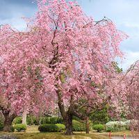 桜sakura旅Part4 愛知県緑化センターユキヤナギと桜、東名古屋カントリークラブのしだれ桜を愛でる♪