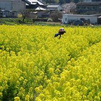 菜の花畑と憧れの観音寺でプチオフ会☆JOECOOLさんご夫妻・みらちゃんと菜の花を摘みましたヽ(^o^)丿