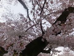 2016 麻生川の桜 ~ 開花から満開まで!