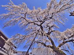 東海三県を思いつくまま桜を探してあちらこちら(孫達も後半一緒に)